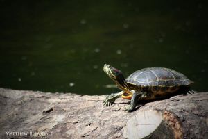 Turtle. by Bleezer
