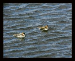 Red-Necked Pair by swashbuckler
