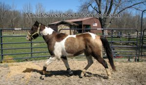 Training - Pinto Trot by MissileSweet-Stock