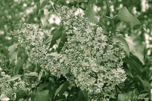 monochrome lilac by Iulian-dA-gallery