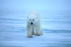 Polar Bear 3 by catman-suha