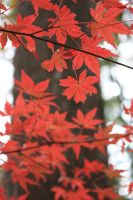 scarlet leaves by Carreauline