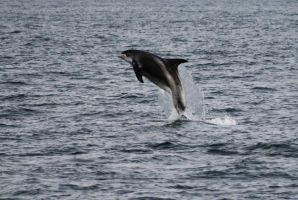 Jumping dolphin III by drinkpoison