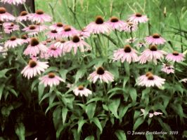 Coneflowers by jim88bro
