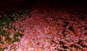 Cherry Blossom Path by xILoveYouNot