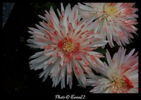 Flower 31 by Twins72