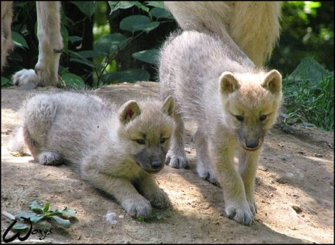 Arctic wolves pups by woxys