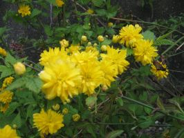 Kerria Japonica by desertrose2011