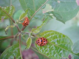 Two little lady beetles by alexisw