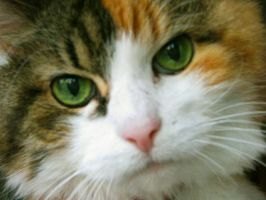 Calico Kitty by caitlinwithasea