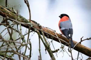 Bullfinch by sampok