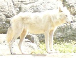 White Wolf by Riverd-Stock