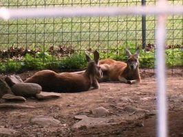 Relaxing Roos by Kinipella