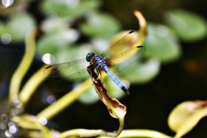 Perched Dragonfly 2 by SamanthaHaga