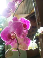 Orchid 5 by somebodyaf