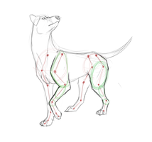 Canine anatomy by Kibah