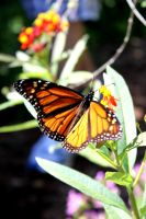 Monarch Butterfly by drumgirl67