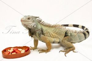 Green iguana eating fruits by TinaS-Photography