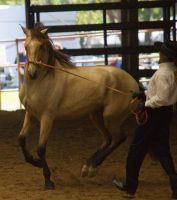 STOCK - 2014 Andalusian Nationals-180 by fillyrox