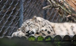 Snow Leopard Napping by DanielleMiner