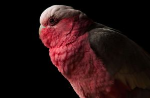 Galah by DanielleMiner
