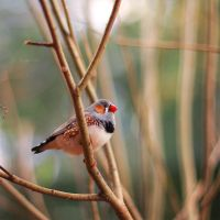 zebra finch by Lain-AwakeAtNight