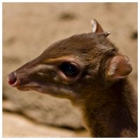 Blue Backed Duiker 004 by ShineOverShadow