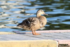 Duck, waiting for his ride by ChrisInVT