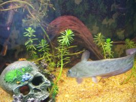 Eel Tailed Catfish by Goose900