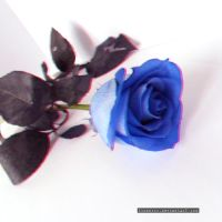 Blue Rose III by Zinantis