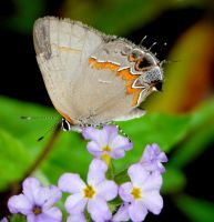 Red-banded Hairstreak by duggiehoo