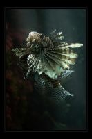 Pterois volitans by SteveCampbell