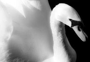 Swan by oxecotton
