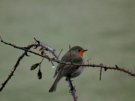 robin between two thorns by harrietbaxter