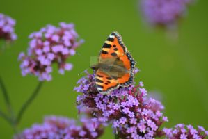 30 August 2015 - Butterfly (5) by SIG442