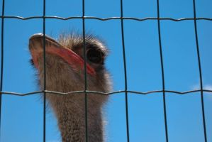 ostrich at the zoo in Paphos - Cyprus by ReneHaan