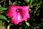 Colorful Pink Petunia by emilymhanson