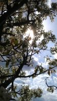 Pear tree in bloom by Aseryith