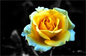 Yellow Rose by OnTheRoad
