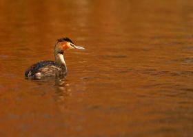 Great Crested Grebe by noelholland