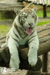 White tiger by Seth890603