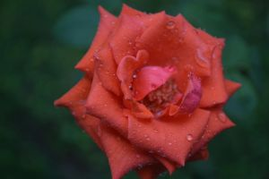 Red Rose by zalfasal