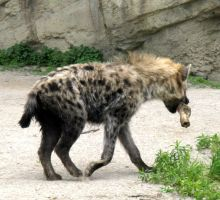 hyena and its bone by musicsuperspaz