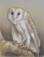 Billy the Barn Owl by nudge1