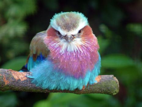Lilac Breasted Roller by April-Snowflake