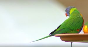 Rainbow Lorikeet 3 by Tamamantix