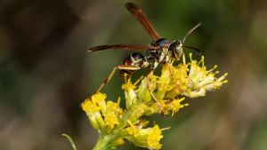 Wasp On Goldenrod by fractalfiend