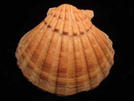 Orange Clam shell 1 by Designdivala