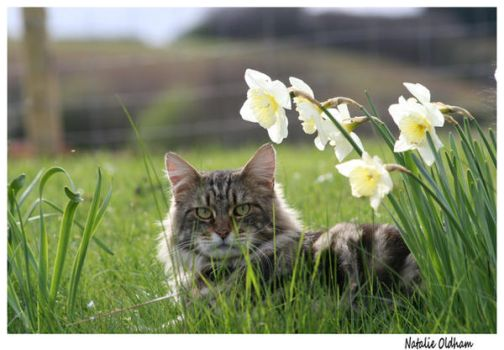 Spring Time Maine Coon by the-other1