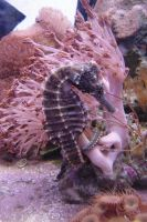 Seahorse + Shrimp Aquarium 3 by FantasyStock